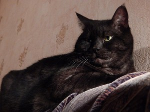 черный кот Муся