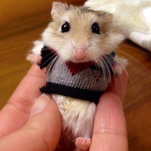 хомяк в свитере