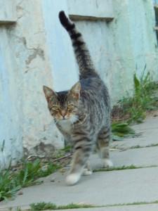 полосатый кот с задранным хвостом