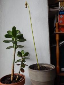 авокадо и денежное дерево