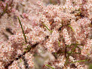 куст цветёт миллионом розовых цветочков | ХорошоГромко.ру