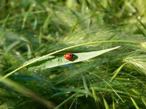 Божья коровка солнечным утром ползёт по травинке между каплями росы | ХорошоГромко.ру